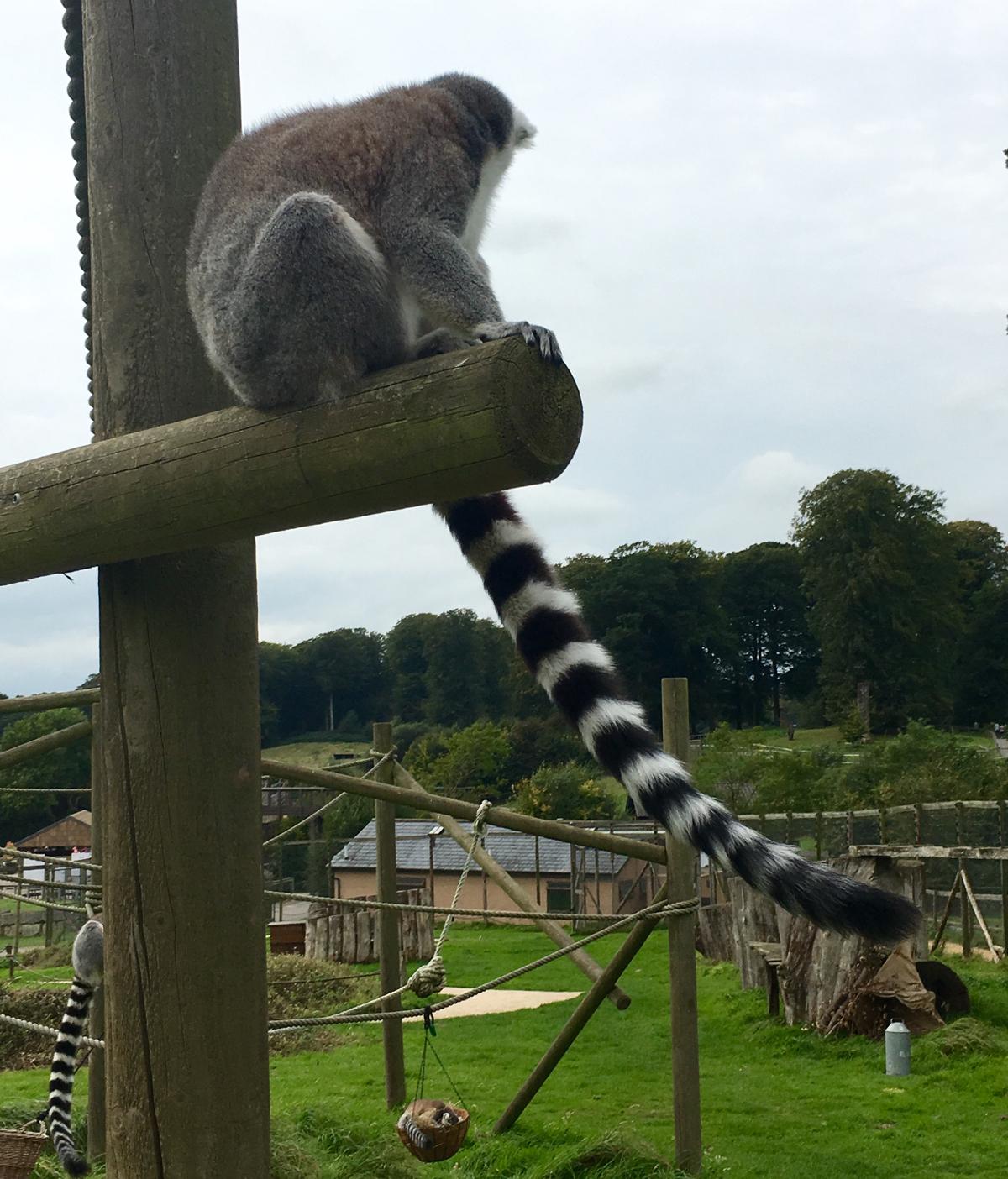 longleat-lemurs