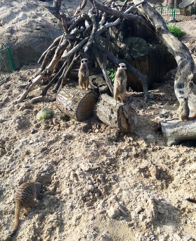 longleat-meerkats