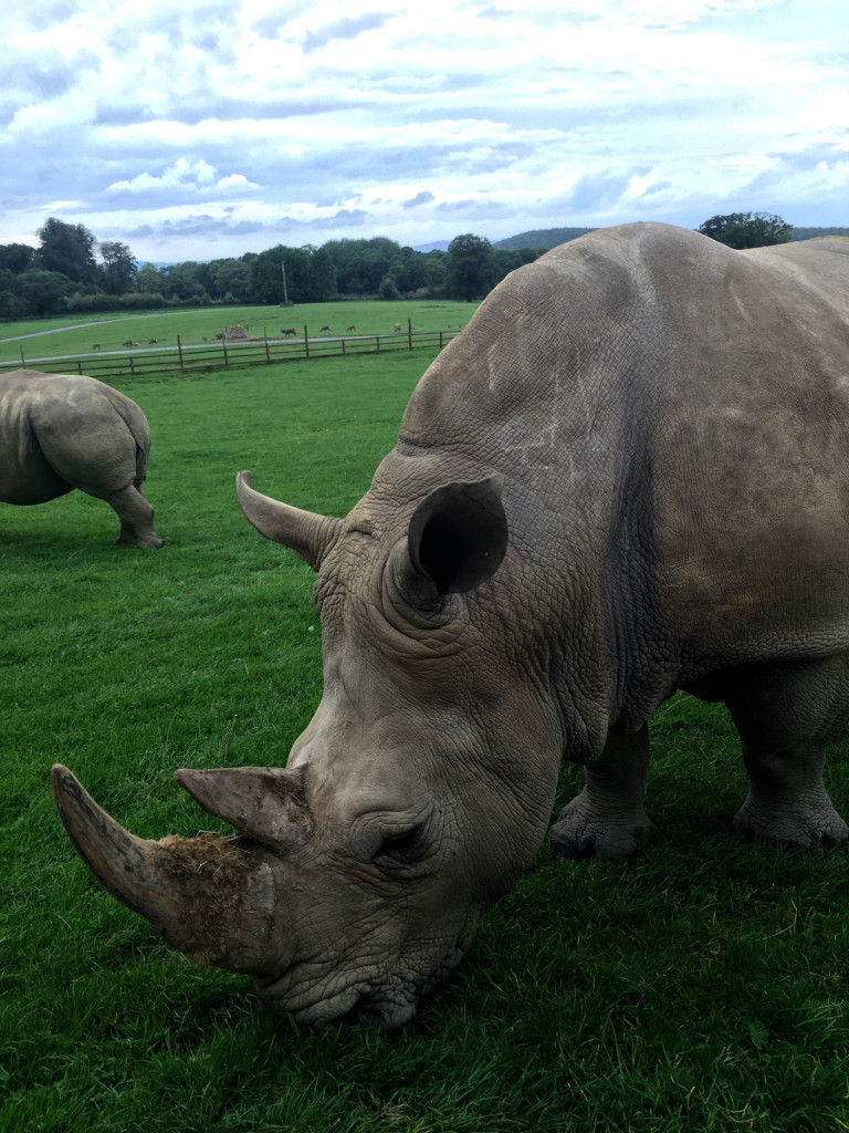 Coming Face to Face with a Gorgeous Rhino at Longleat