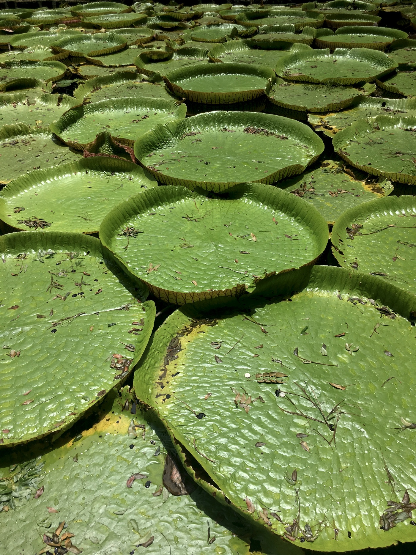 mauritius-lillie-pads