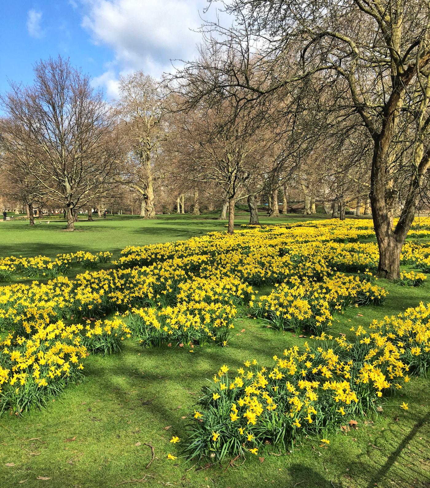 daffodils-st-james-park